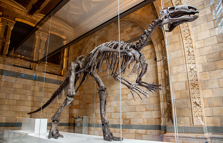 A Mantellisaurus skeleton in the Museum's Hintze Hall