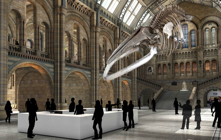 Blue whale skeleton suspended in Hintze Hall