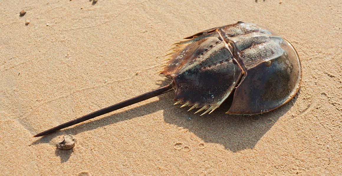 A horseshoe crab lies on sand.
