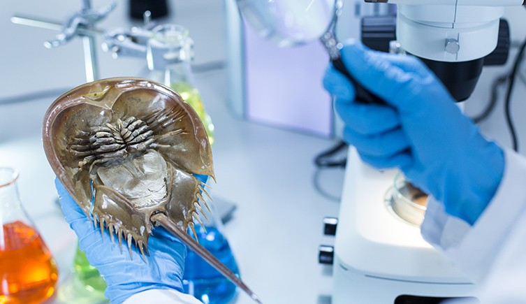 A scientists looks at a crab in a lab.