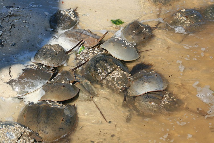 A group of horseshoe crabs gather together to spawn.