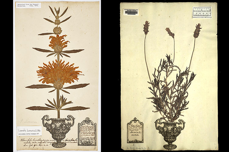 Two herbarium sheets from the George Clifford Collection