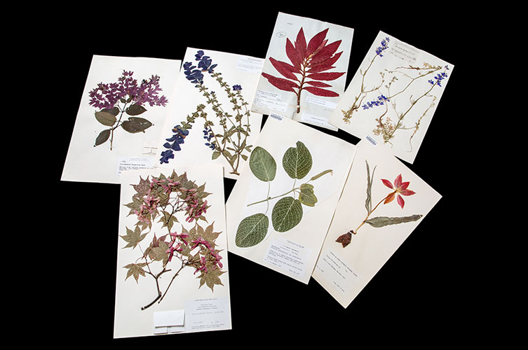 Seven herbarium sheets with dried specimens of different plants