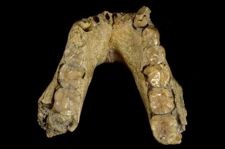 Australopithecus afarensis jaw fossil