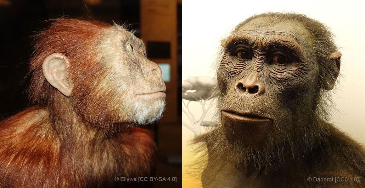 Australopithecus afarensis, Lucy's species