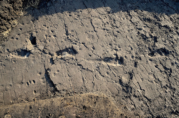 Part of a trail of footprints exposed at Laetoli