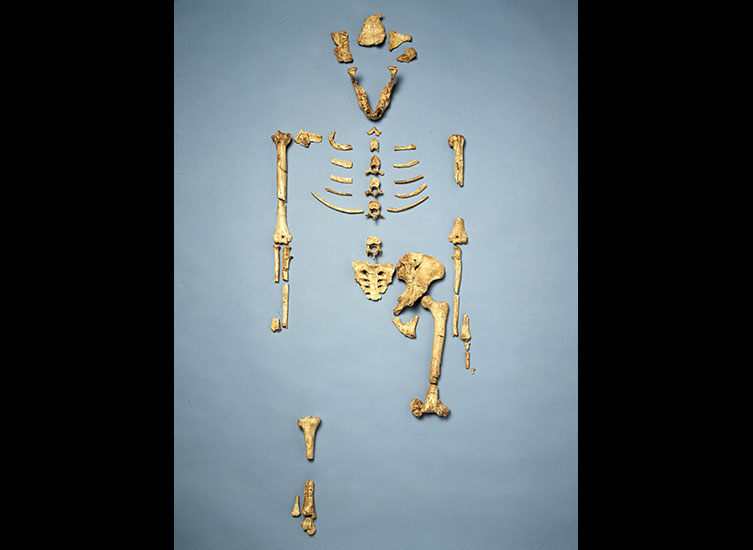 Lucy skeleton with bones laid out in the correct positions