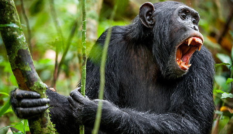 Chimpanzee displaying its teeth