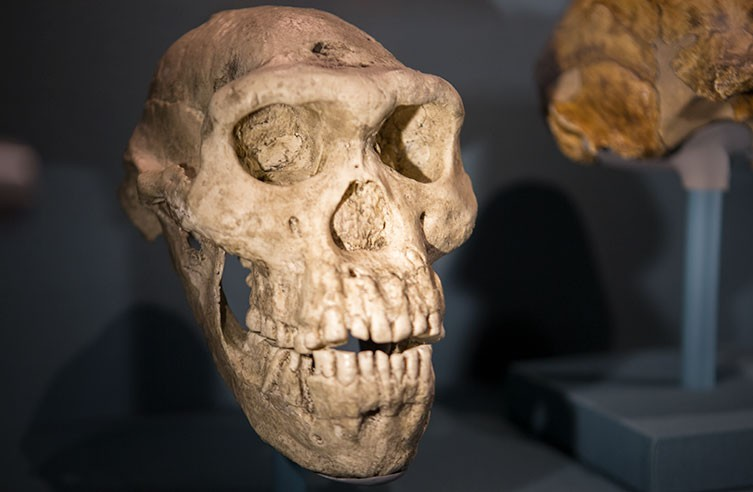 Homo erectus, our ancient ancestor | Natural History Museum