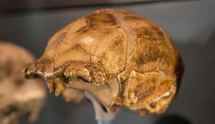 homo erectus physical characteristics