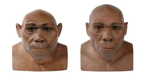 Two reconstructions of Homo erectus