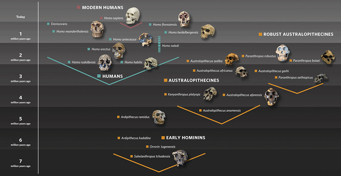 human-evolution-family-tree-with-skulls-graphic-hero.jpg (1160×600)