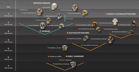 Hominin family tree graphic showing early hominins, australopithecines and humans