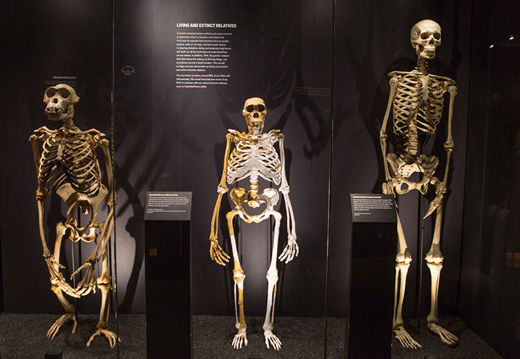 how we became human | natural history museum, Skeleton
