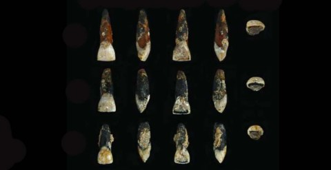 three of the six anicent human teeth disocvered in Tanzania
