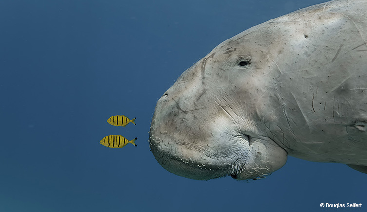 Dugong and two juvenile golden trevallies