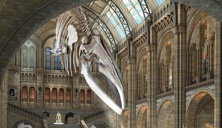 An digital model of how the blue whale could look in Hintze Hall