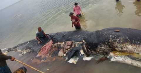 The dead sperm whale containing swathes of plastic debris, found on 19 November 2018.