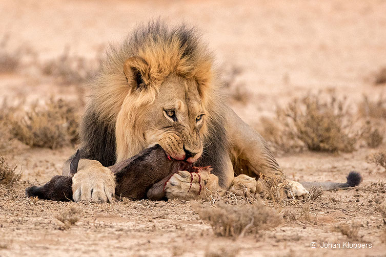 Lions eventually caught and killed the newborn calf