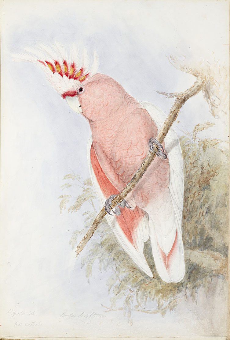 An original watercolour of Major Mitchell's cockatoo by Elizabeth Gould from a volume of original bird illustrations allocated to the Natural History Museum through the Acceptance in Lieu scheme
