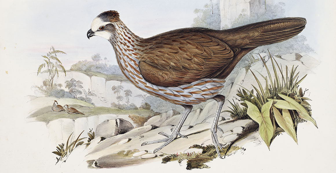 A lithograph of a buffy-crowned wood partridge (Dendrortyx leucophrys).