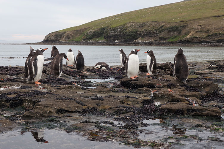 A group of Gentoo penguins on Saunders Island