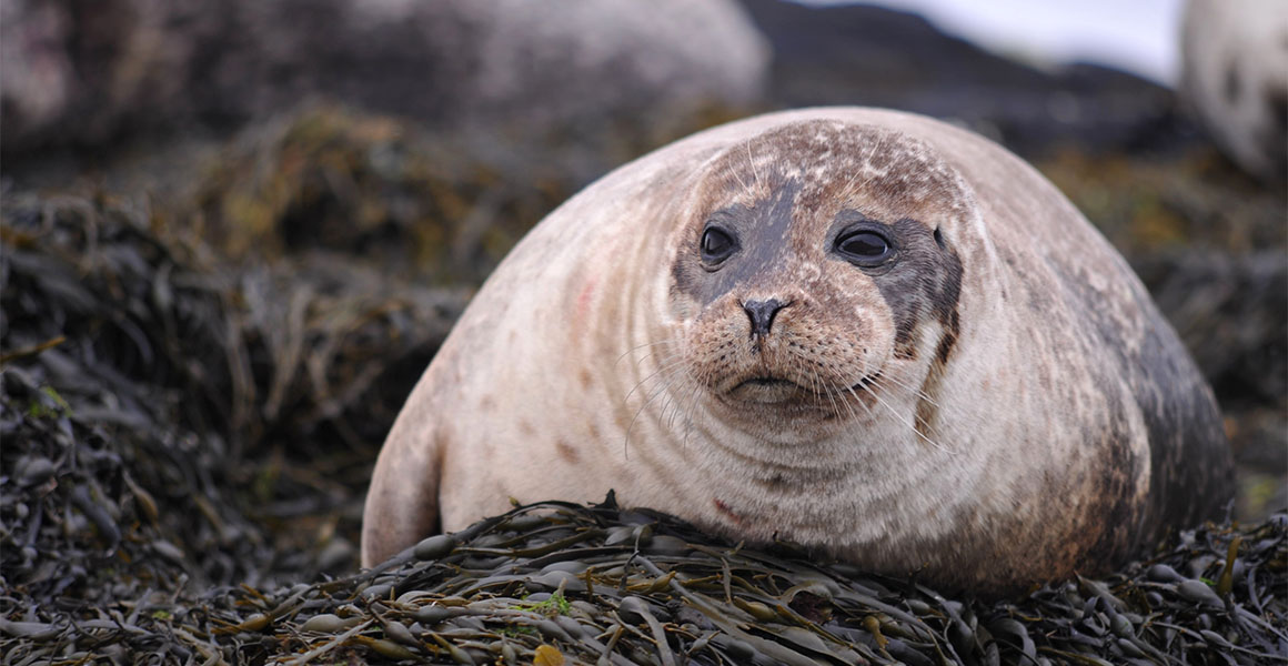 A common seal rests on kelp.