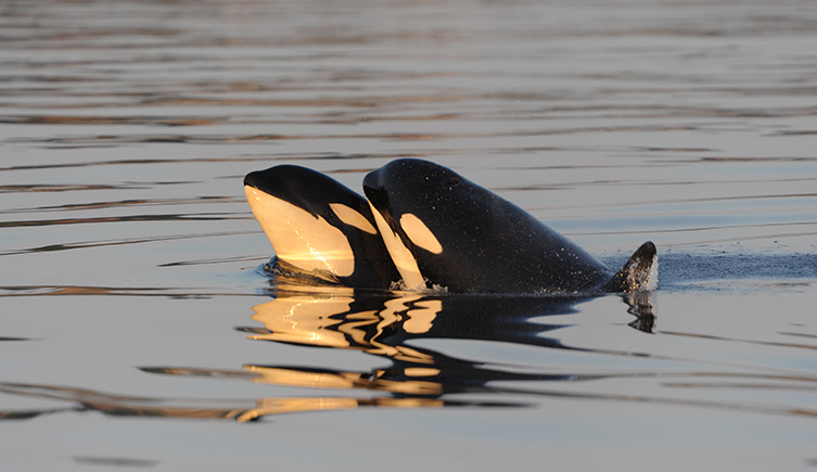 Image: Two whales socialise at the surface