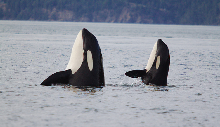 Killer whales spyhopping