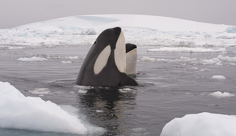Two killer whales in a snowy environment