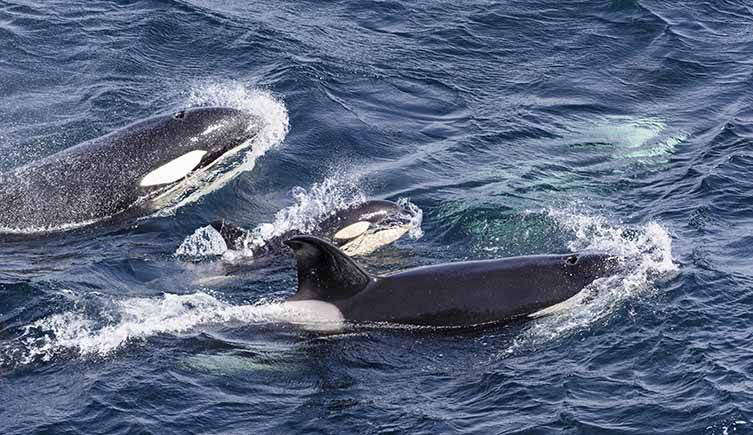 A pod of killer whales swimming
