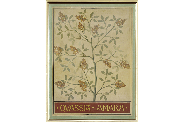 Quassia amara, a decorative ceiling panel from Hintze Hall