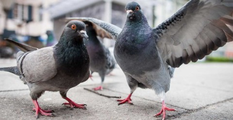 A pair of pigeons on a grey street.