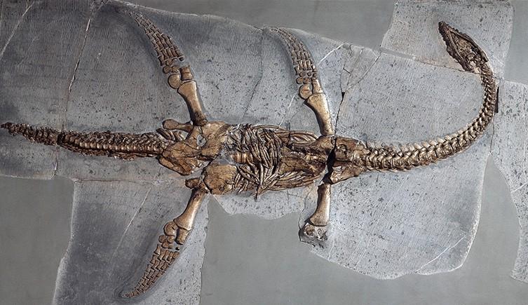 Un plesiosaurio fosilizado