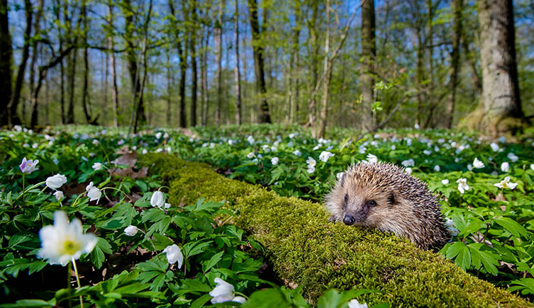 Hedgehog in woodland