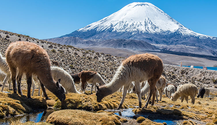 llama poop has revealed the collapse of the Inca Empire