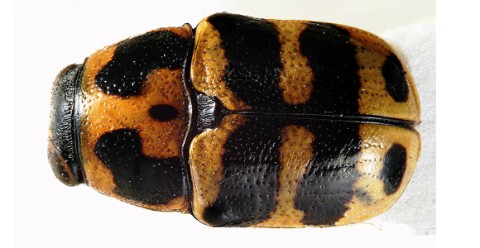 The yellow and black beetle seen from above