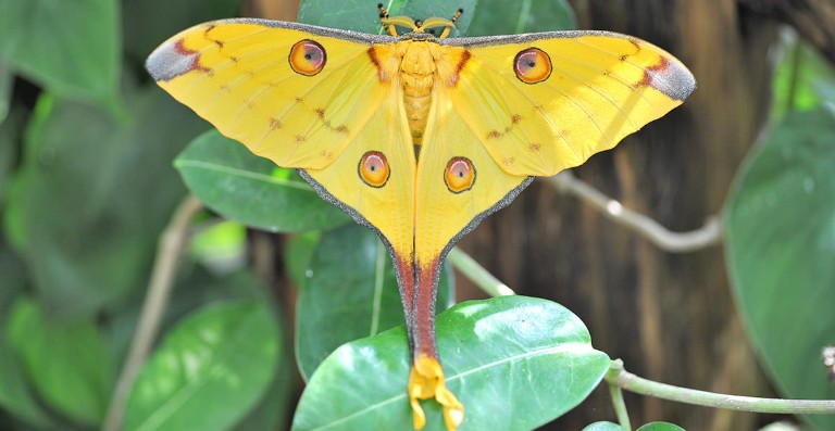 Spotlight: the Madagascan moon moth | Natural History Museum