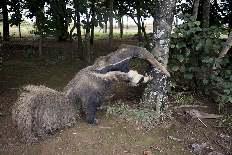 A photograph of a taxidermy anteater, provided by anonymous third-party sources