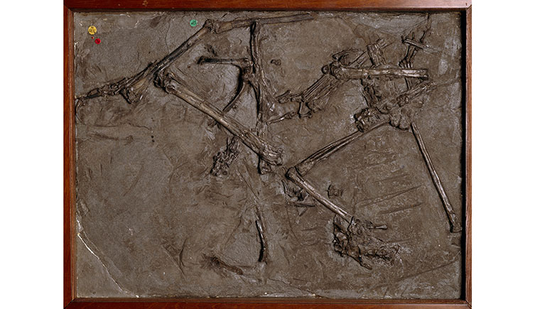 Mary Anning's first pterosaur