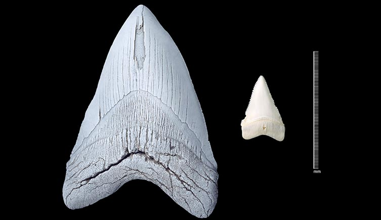 A megalodon tooth next to one from a great white shark