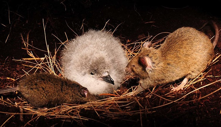 Gangs of mice are eating seabird chicks alive on a remote