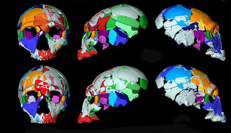 Reconstructions of the two skulls.