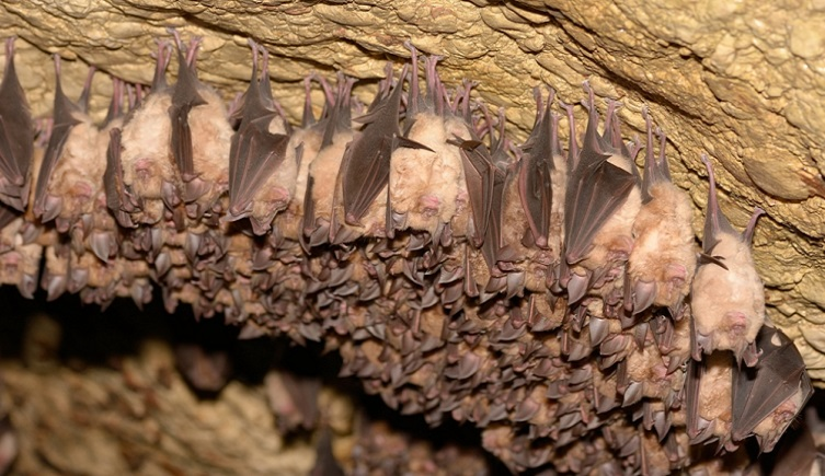 A group of bats at rest in a cave