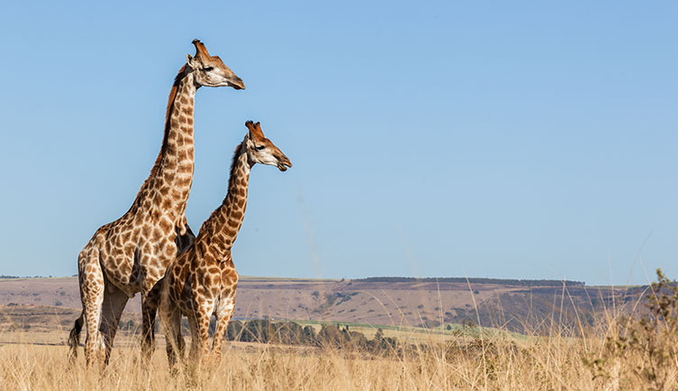 Two giraffes on a plain