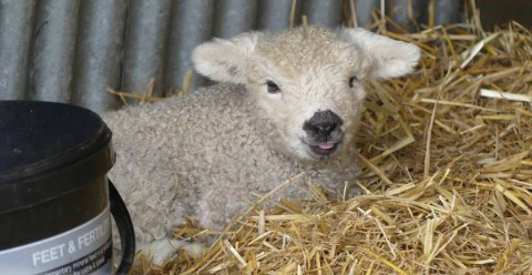 One of the three new lambs that visitors can now name.