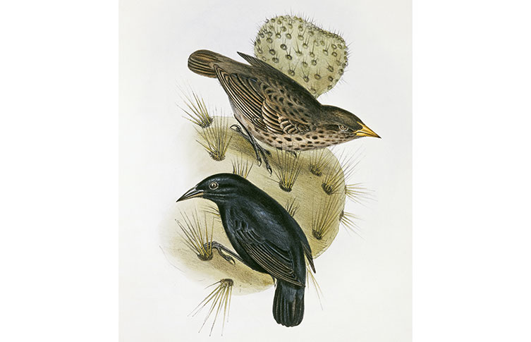 A lithograph by John and Elizabeth Gould of a male and female cactus finch