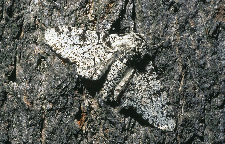 A peppered moth camouflaged on a tree