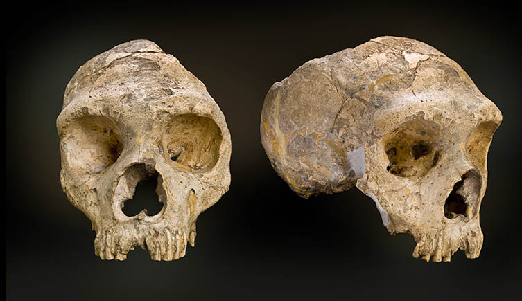 Skull of the first neanderthal