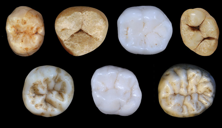 Seven Neanderthal teeth on a black background